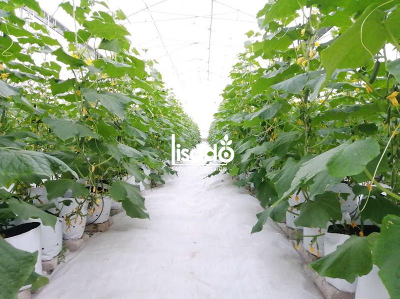 Dự án thi công nhà màng dưa lưới diện tích 1575 m2 tại Bắc Ninh