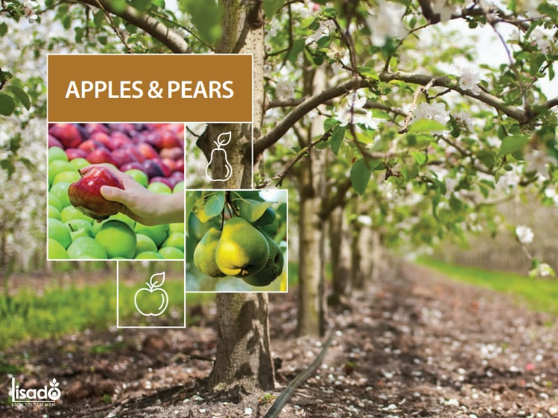 Thi công hệ thống tưới nhỏ giọt cho táo và lê