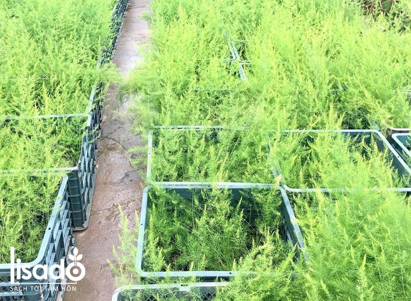Cây giống măng tây xanh Atlas F1 kháng bệnh tốt, năng suất cao