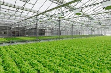 Dịch vụ trồng rau thủy canh quy mô lớn