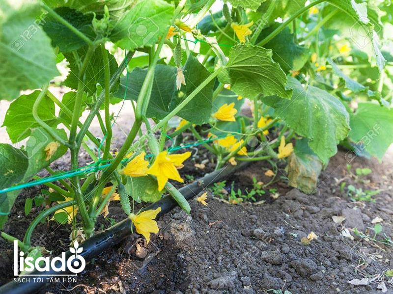 Cách trồng và chăm sóc dưa chuột sai trĩu quả từ A-Z