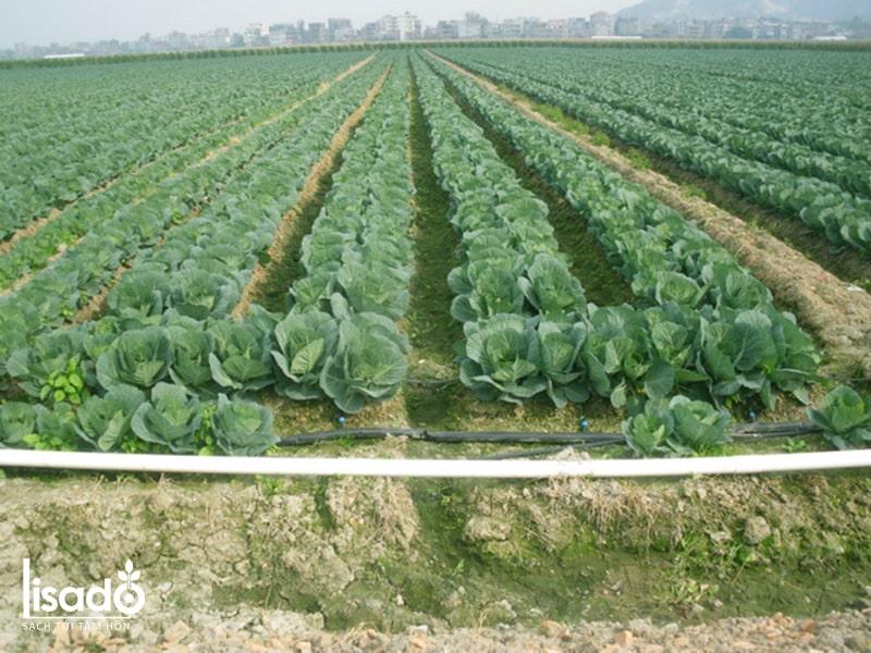 Cách trồng và chăm sóc bắp cải theo phương pháp tưới nhỏ giọt