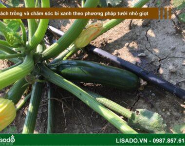 Cách trồng và chăm sóc bí xanh theo phương pháp tưới nhỏ giọt