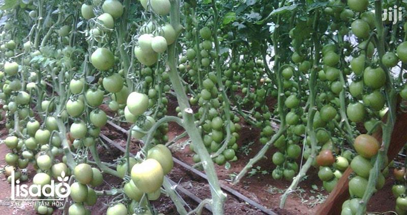 Cách trồng và chăm sóc cà chua theo phương pháp tưới nhỏ giọt