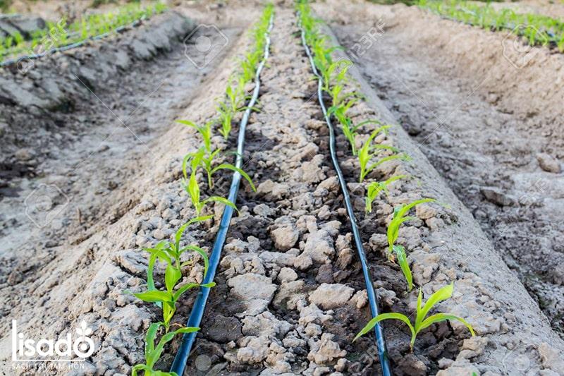 Cách trồng và chăm sóc cây ngô theo phương pháp tưới nhỏ giọt