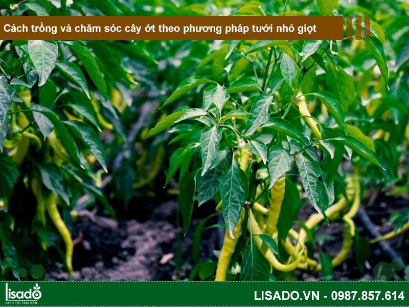Cách trồng và chăm sóc cây ớt theo phương pháp tưới nhỏ giọt