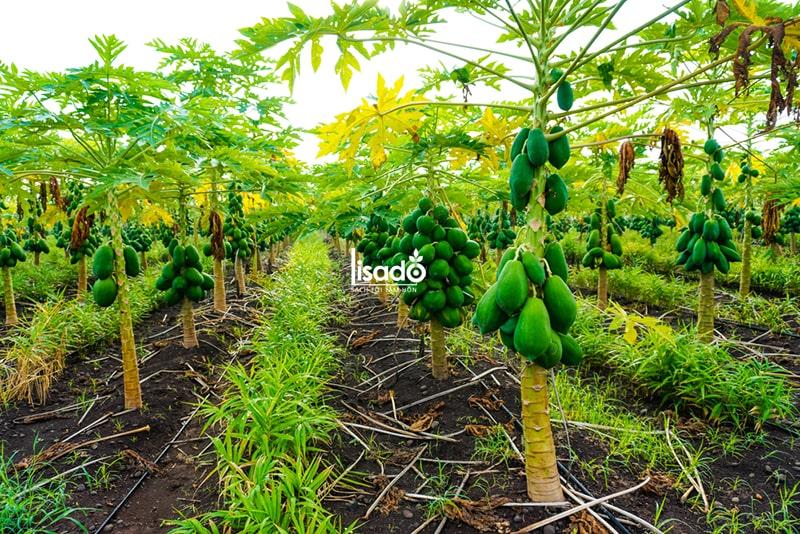 Cách trồng và chăm sóc đu đủ theo phương pháp tưới nhỏ giọt