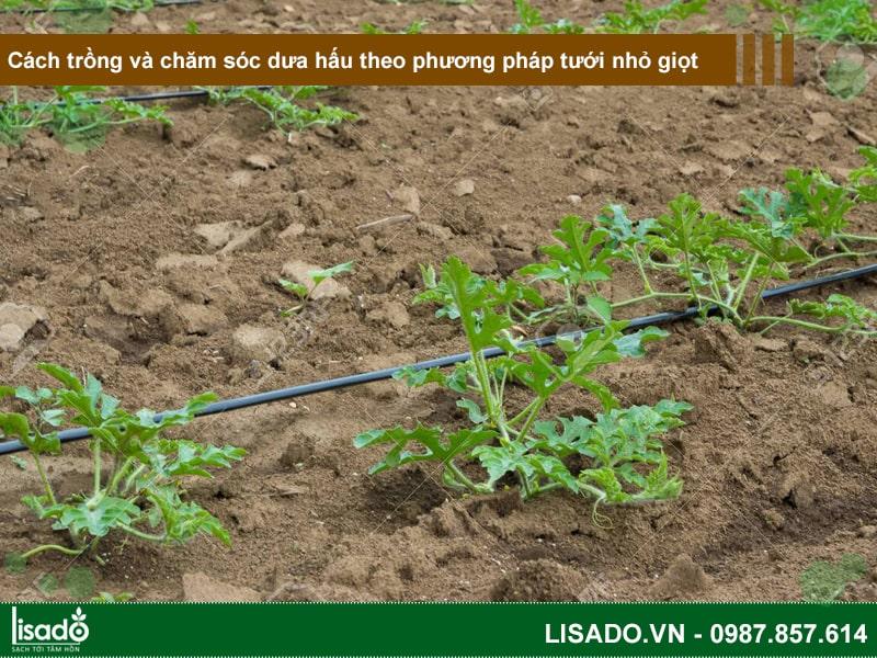 Cách trồng và chăm sóc dưa hấu theo phương pháp tưới nhỏ giọt