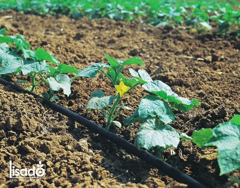 Cách trồng và chăm sóc dưa lê theo phương pháp tưới nhỏ giọt