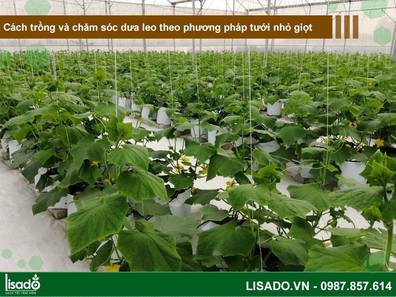 Cách trồng và chăm sóc dưa leo theo phương pháp tưới nhỏ giọt