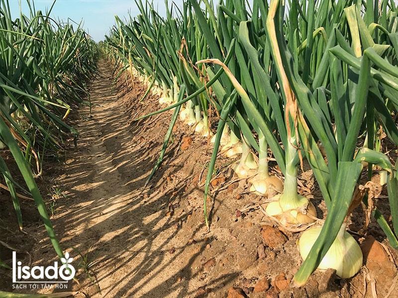 Cách trồng và chăm sóc hành tây theo mô hình tưới nhỏ giọt