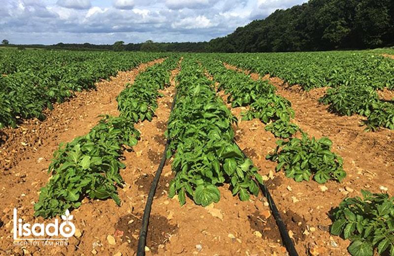 Cách trồng và chăm sóc khoai tây theo phương pháp tưới nhỏ giọt
