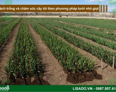 Cách trồng và chăm sóc cây tỏi theo phương pháp tưới nhỏ giọt