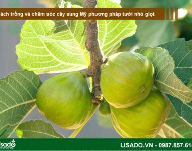 Cách trồng và chăm sóc cây sung Mỹ theo phương pháp tưới nhỏ giọt
