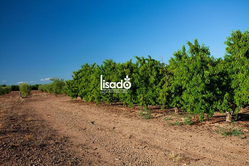 Cách trồng và chăm sóc cây đào ăn quả theo phương pháp tưới phun mưa