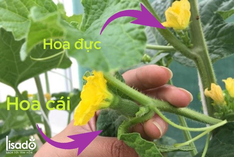 Nhận biết hoa đực, hoa cái của dưa lưới