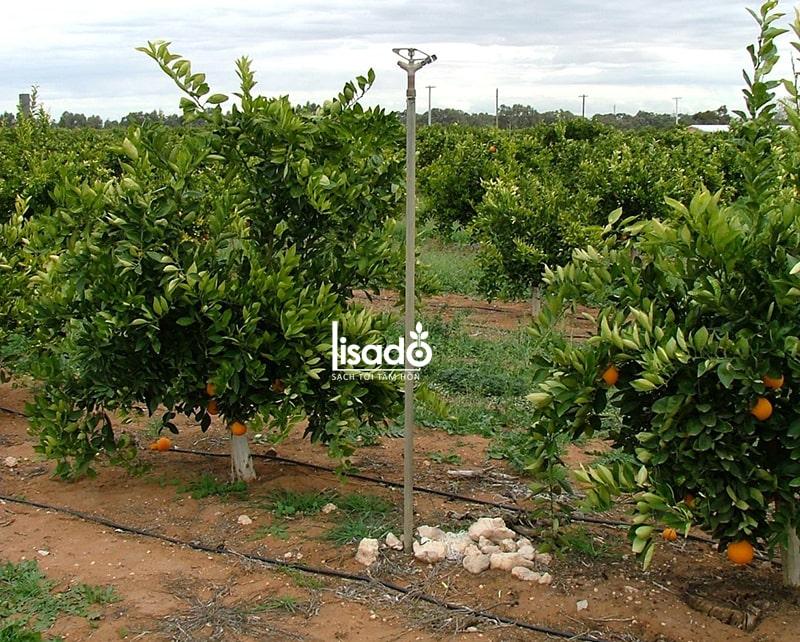 Cách trồng và chăm sóc cây cam theo phương pháp tưới nhỏ giọt