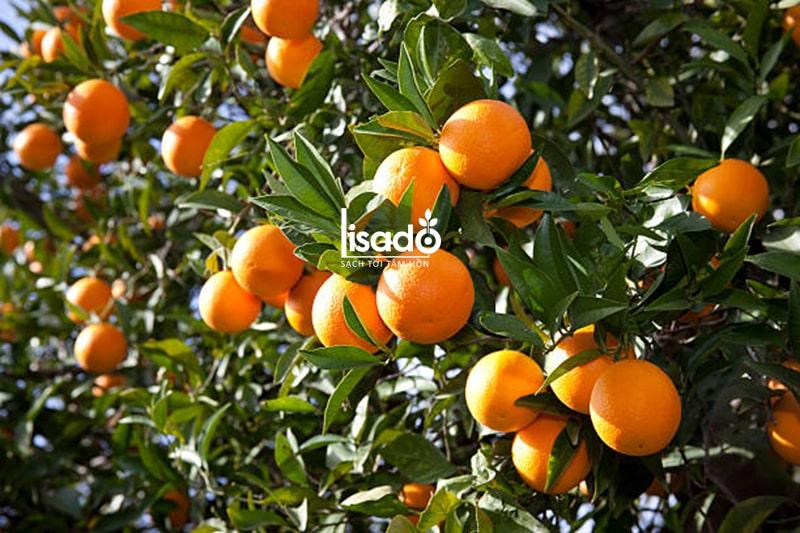 Khoảng cách trồng cam theo phương pháp tưới nhỏ giọt