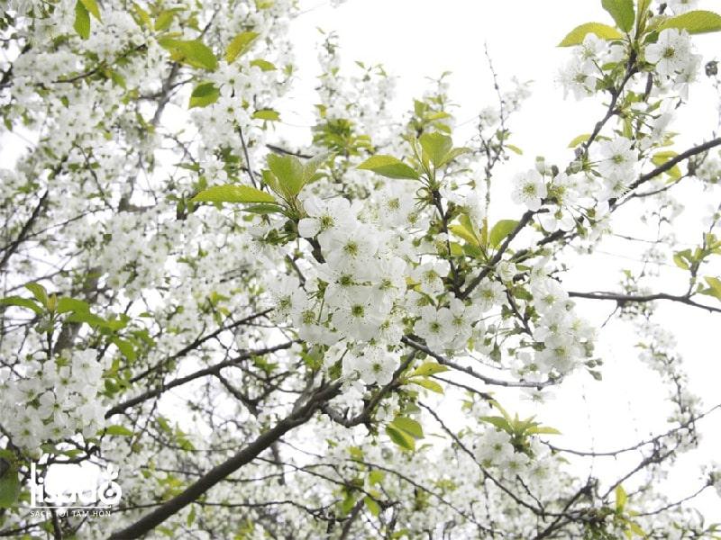 Cách trồng và chăm sóc cây mận theo phương pháp tưới nhỏ giọt