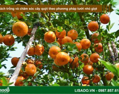 Cách trồng và chăm sóc cây quýt theo phương pháp tưới nhỏ giọt