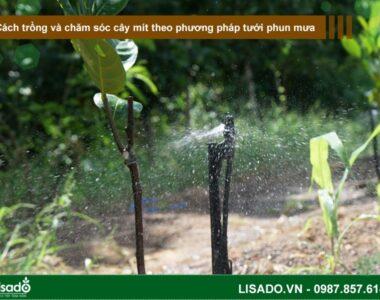 Cách trồng và chăm sóc cây mít theo phương pháp tưới phun mưa
