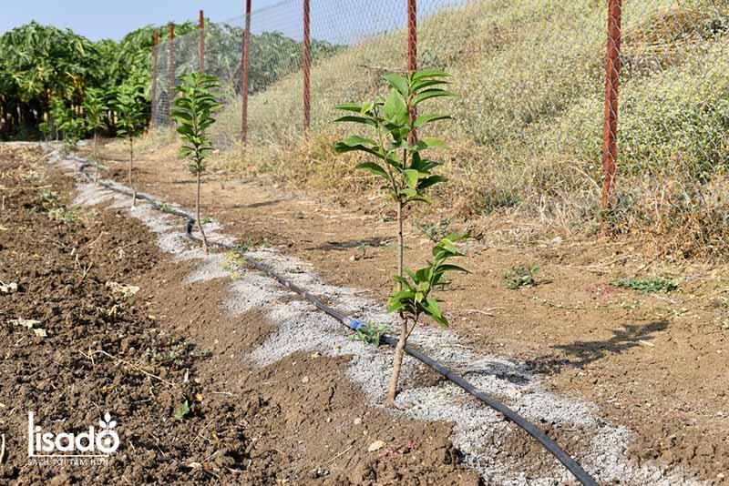 Cách trồng và chăm sóc cây na theo phương pháp tưới nhỏ giọt
