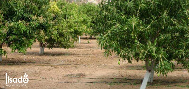 Cách trồng và chăm sóc xoài theo phương pháp tưới nhỏ giọt
